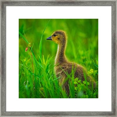 Gosling Framed Print by Paul Freidlund