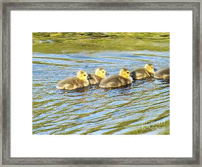 Goslings Afternoon Swim Framed Print