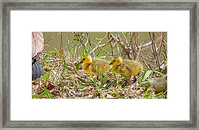 Goslings Framed Print by Betsy Knapp