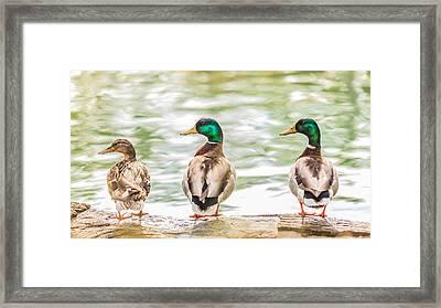 Got My Ducks In A Row Framed Print