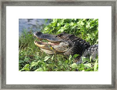 Got Teeth Framed Print by Kathy Gibbons