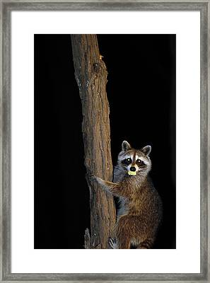 Gotcha The Cornbread Bandit Framed Print by Randall Branham