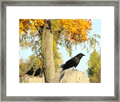 Three Ravens On A Gothic Graveyard Day Framed Print by Gothicrow Images