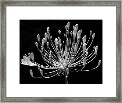 Grace Framed Print by Rona Black