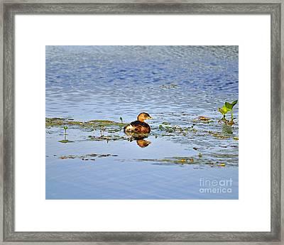 Graceful Grebe Framed Print