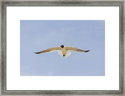 Framed Print featuring the photograph Graceful Gull by Bradley Clay