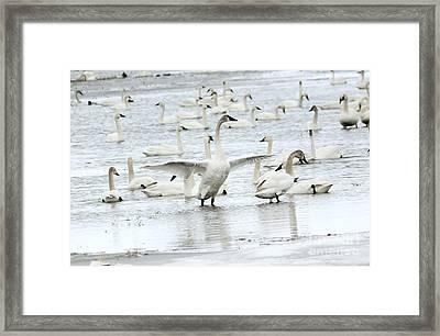 Graceful Framed Print by Lori Tordsen