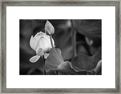 Graceful Lotus. Balck And White. Pamplemousses Botanical Garden. Mauritius Framed Print by Jenny Rainbow