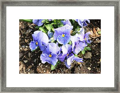 Framed Print featuring the photograph Graceful Pansies by Judy Palkimas