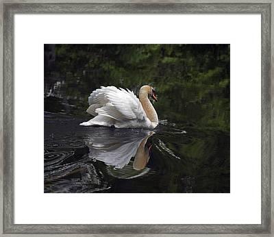 Graceful Swan Framed Print by Elsa Marie Santoro