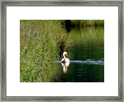 Graceful Swan Framed Print by Lizbeth Bostrom