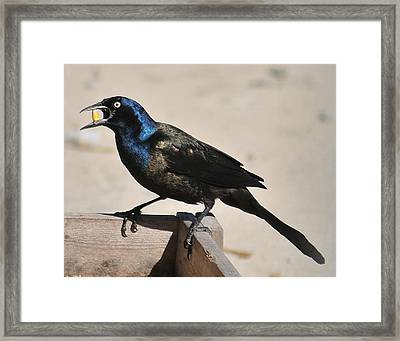 Grackle Chow Down Framed Print