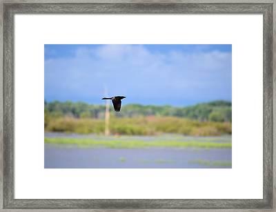 Grackle In Flight Framed Print by Bonfire Photography