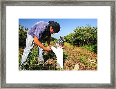 Grafting In An Avocado Plantation Framed Print by Photostock-israel