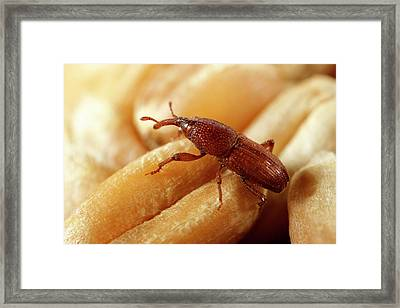 Grain Weevil Framed Print by Sinclair Stammers