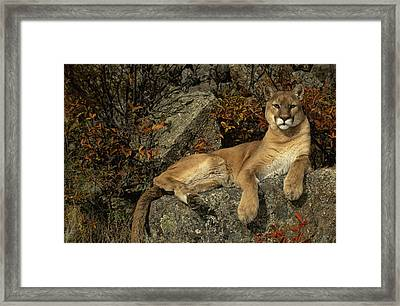 Grambo Mm-00003-302, Adult Male Cougar Framed Print by Rebecca Grambo