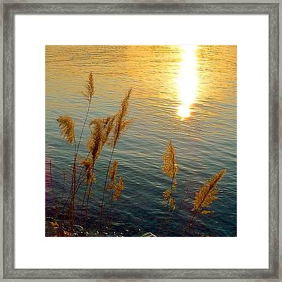 Graminees Dorees Framed Print