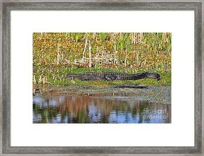 Grand Gator Framed Print