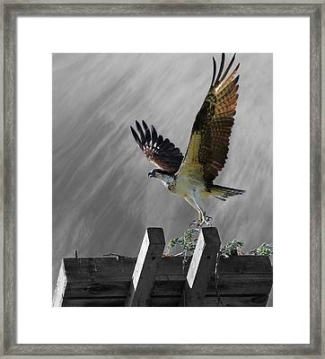 Grand Ole Osprey Framed Print