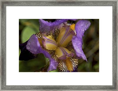 Grand Opening - Purple Iris With Raindrops Framed Print