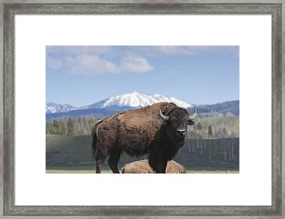 Grand Tetons Bison Framed Print by Charles Warren