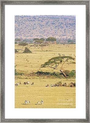 Grants Zebra And Wildebeest Framed Print