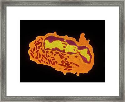 Granulocyte White Blood Cell Framed Print by Cnri