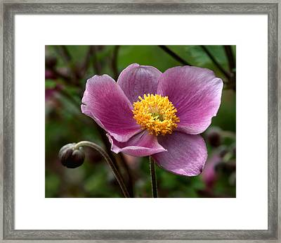 Grape Anemone Framed Print by Nikolyn McDonald