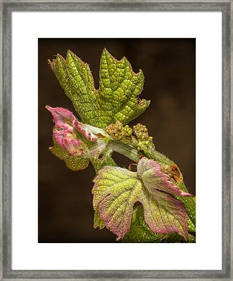 Grape Bud Break Framed Print by Len Romanick