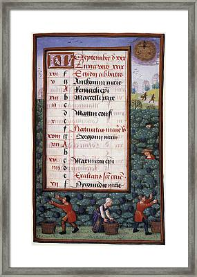 Grape Harvest, 1500 Framed Print by Granger
