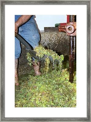 Grape Harvest Framed Print