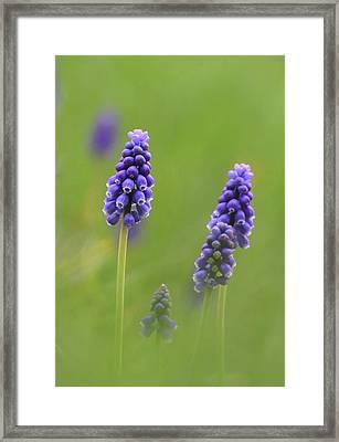 Grape Hyacinth Framed Print by Angie Vogel