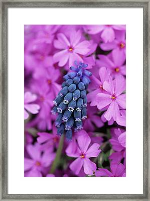 Grape Hyacinth In Phlox In Garden Framed Print
