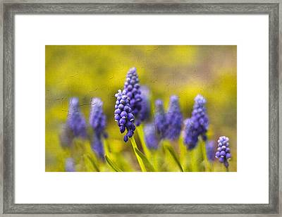 Grape Hyacinth Framed Print by Jessica Jenney