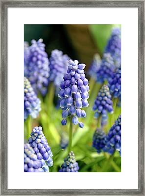 Grape Hyacinth (muscari Armeniacum) Framed Print by Adrian Thomas