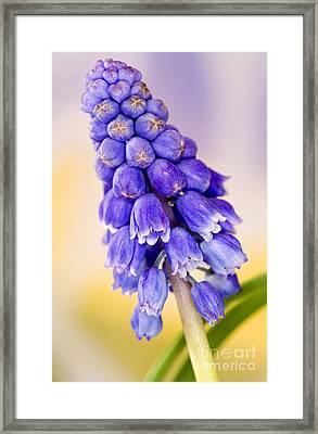 Grape Hyacinth Muscari Armeniacum Framed Print by Cheryl Power