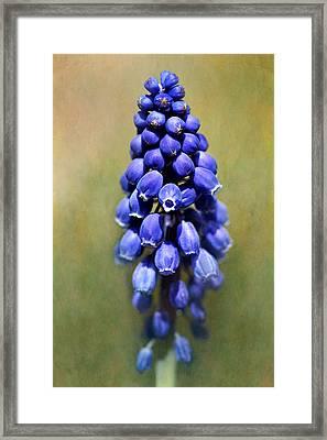 Grape Hyacinth Framed Print by Nikolyn McDonald