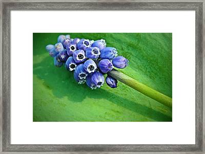 Grape Hyacinth Spike  Framed Print