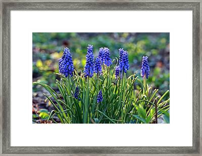 Grape Hyacinths Framed Print