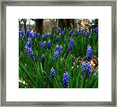 Grape Hyacinths Framed Print by Julie Dant
