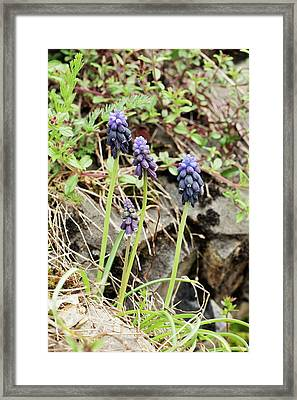 Grape-hyacinths (muscari Neglectum) Framed Print by Bob Gibbons