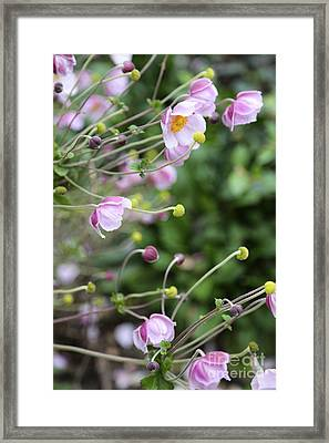 Grape-leaf Anemone Framed Print by Carol Groenen