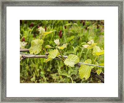 Grape Leaves In Early Spring Framed Print