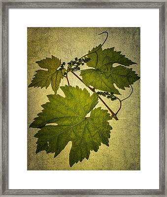 Grape Leaves Framed Print by Paul Haist