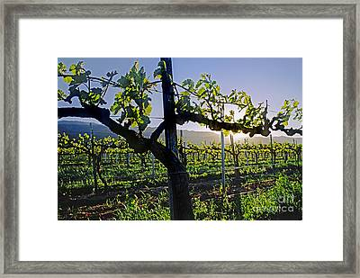 Grape Vine In Spring Framed Print by Craig Lovell