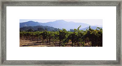 Grape Vines In A Vineyard, Napa Valley Framed Print