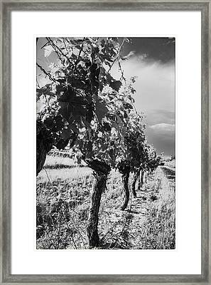 Grape Vines In Mono Framed Print by Georgia Fowler