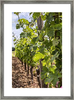 Grape Vines In South West France Framed Print by Georgia Fowler