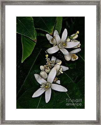 Framed Print featuring the photograph Grapefruit Blossoms by Ruth Jolly