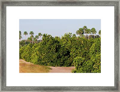 Grapefruit Grove In Mission, Texas Framed Print by Larry Ditto